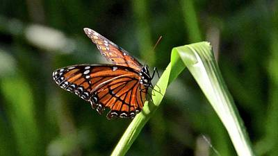 Photograph - Viceroy Butterfly by Carol Bradley