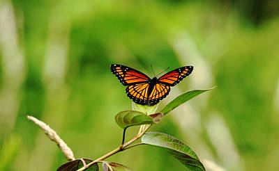 Photograph - Viceroy Butterfly by Debbie Oppermann