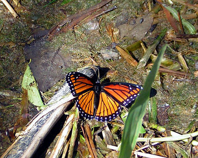 Photograph - Viceroy Butterfly by George Jones