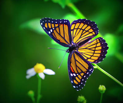 Mark Andrew Thomas Royalty-Free and Rights-Managed Images - Viceroy Butterfly by Mark Andrew Thomas