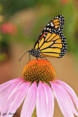 Monarch Butterfly On A Purple Coneflower Art Print