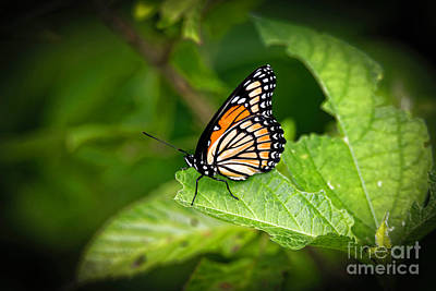 Photograph - Viceroy Butterfly by Paul Mashburn
