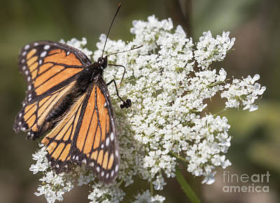 Photograph - Viceroy Butterfly by Ricky L Jones