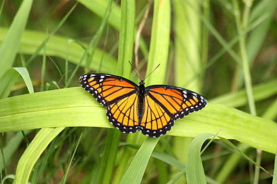 Photograph - Viceroy Butterfly by Sheila Brown