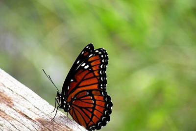 Art Print featuring the photograph Viceroy Butterfly Side View by Rosalie Scanlon
