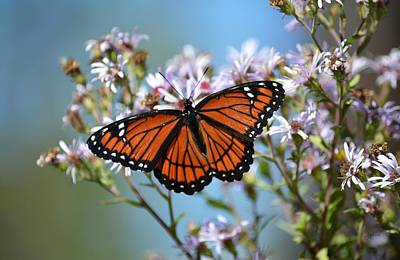 Photograph - Viceroy In The Asters by rd Erickson
