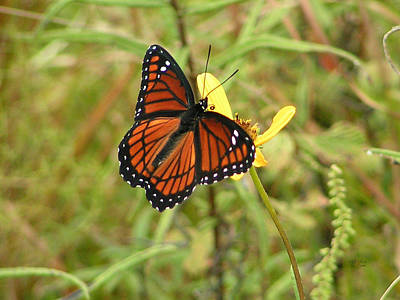 Photograph - Viceroy On Bidens Mitis Flower by rd Erickson
