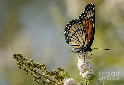 Photograph - Viceroy by Randy Bodkins