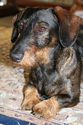 Dachshund Art Photograph - Victor by Christiane Schulze Art And Photography