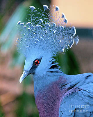 Photograph - Victoria Crowned Pigeon by Baggieoldboy