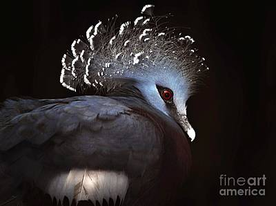 Photograph - Victoria Crowned Pigeon by Elaine Manley