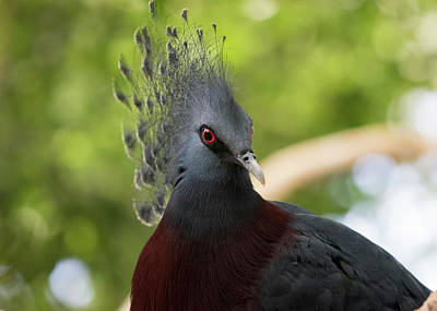 Photograph - Victoria Crowned Pigeon by Ron Grafe