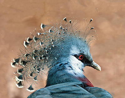 Photograph - Victoria Crowned Pigeon by William Bitman
