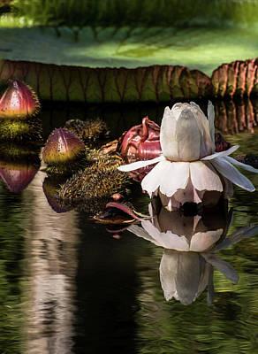 Floral Photograph - Victoria Cruziana by Zina Stromberg