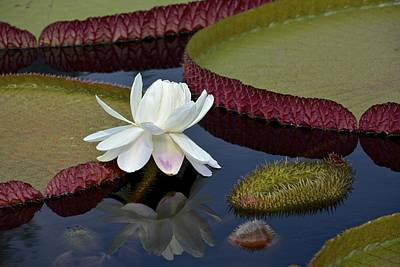 Photograph - Victoria Platter Waterlily by Tana Reiff