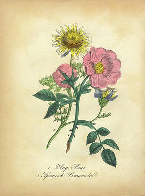 Dog Close-up Drawing - Victorian Botanical Illustration Of Dog Rose And Spanish Camomile by Peacock Graphics