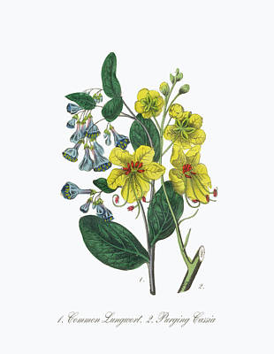 Victorian Botanical Illustration Of Lungwort And Cassia Art Print