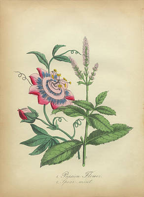 Victorian Botanical Illustration Of Passion Flower And Spearmint Print by Peacock Graphics