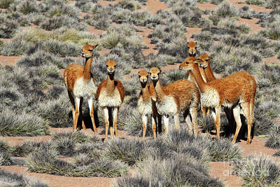 Vicuna Family Portrait Art Print by James Brunker