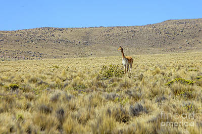 Photograph - Vicuna by Patricia Hofmeester