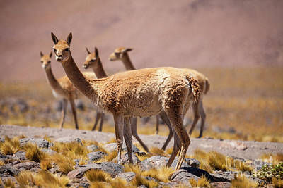 Photograph - Vicunas by Olivier Steiner