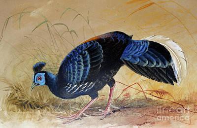 Pheasant Drawing - Vieillot's Fireback by Joseph Wolf