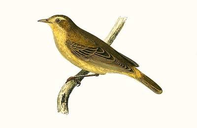 Willow Drawing - Vieillot's Willow Warbler by English School