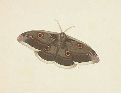 Viennese Painting - Viennese Emperor Moth by MotionAge Designs