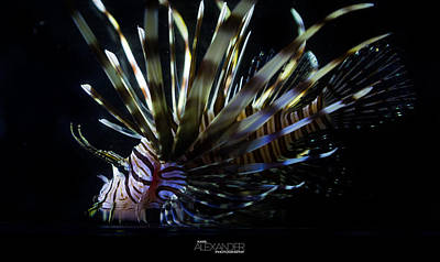 Photograph - Vieques Lionfish Profile #1 by Karl Alexander