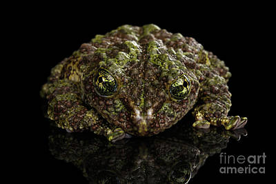 Reptile Photograph - Vietnamese Mossy Frog, Theloderma Corticale Or Tonkin Bug-eyed Frog, Isolated On Black Background by Sergey Taran