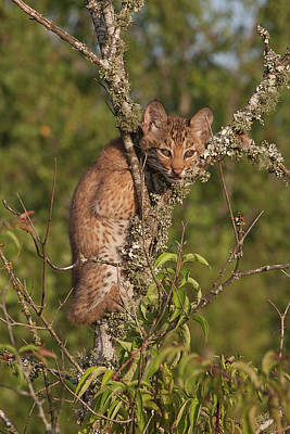 Bobcat Kitten Photograph - View From The Top by Ronnie Maum