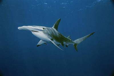 Bahama Islands Photograph - View Of A Hammerhead Shark by Brian J. Skerry