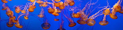 Jelly Fish Photograph - View Of Jelly Fish Underwater by Panoramic Images