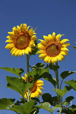 Sunflowers Royalty-Free and Rights-Managed Images - Viewing the past by Amanda Barcon