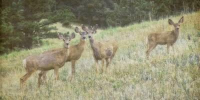 Mule Deer Herd Photograph - Vigilance by Flying Z Photography By Zayne Diamond