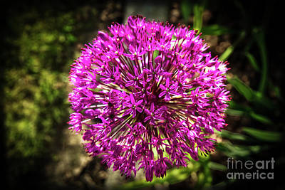 Photograph - Vignetted Allium by Robert Bales