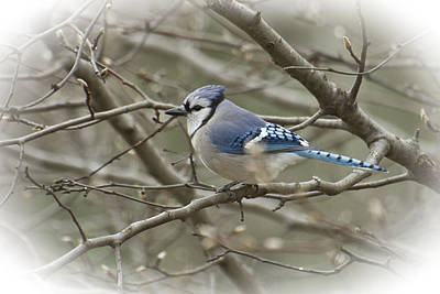 Photograph - Vignetted Blue Jay by Shelly Gunderson