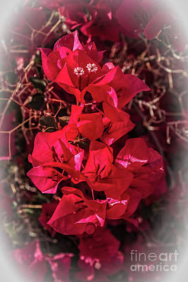Photograph - Vignetted Bougainvillea by Robert Bales
