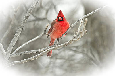 Photograph - Vignetted Cardinal by Shelly Gunderson