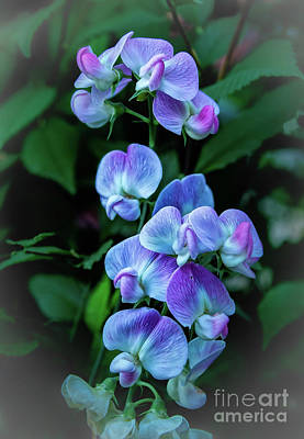 Photograph - Vignetted Wild Sweet Peas by Robert Bales