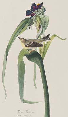 Leaf Drawing - Vigor's Warbler by John James Audubon