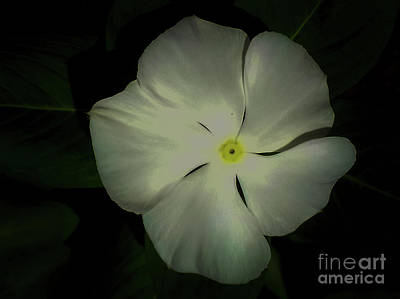 Photograph - Vinca Bloom Night Glow by James Fannin