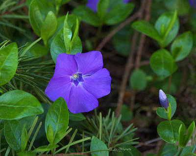 Photograph - Vinca Blooming In The Forest by Jeanette C Landstrom