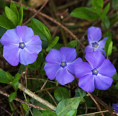 Photograph - Vinca In Bloom by Jeanette C Landstrom