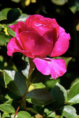Photograph - Vincent Red Rose by John Haldane
