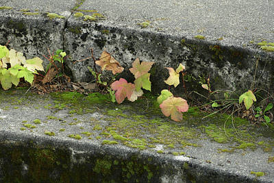 Photograph - Vine At The Fort by Laurel Powell