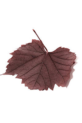 Vine Leaf Art Print by Claire Hull