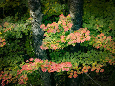 Photograph - Vine Maple Color by Jean Noren