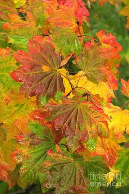 Photograph - Vine Maple Hues by Frank Townsley
