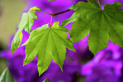Photograph - Vine Maple On Purple by Robert Potts